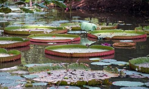 Chiêm ngưỡng loài sen khổng lồ nổi tiếng thế giới giữa Sài Gòn - ảnh 1