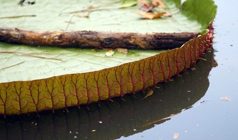 Chiêm ngưỡng loài sen khổng lồ nổi tiếng thế giới giữa Sài Gòn - ảnh 6