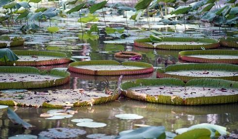 Chiêm ngưỡng loài sen khổng lồ nổi tiếng thế giới giữa Sài Gòn - ảnh 10