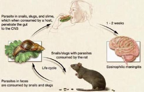 Ăn ốc sên bị viêm não - ảnh 2