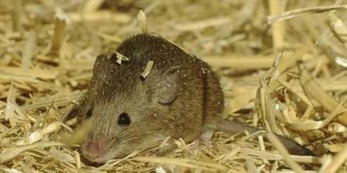 Dịch hạch: Ăn thịt chuột có nhiễm bệnh? - ảnh 1