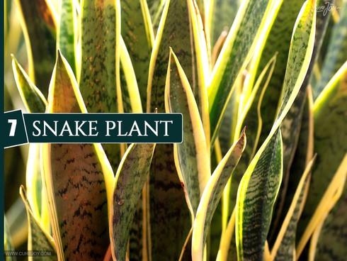 10 loại cây trồng trong nhà giúp cải thiện chất lượng không khí - ảnh 7