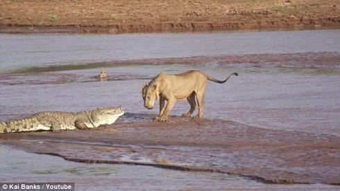 Xem bầy sư tử đói tấn công cá sấu khổng lồ kịch tính như phim hành động - ảnh 1