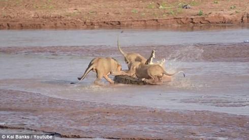 Xem bầy sư tử đói tấn công cá sấu khổng lồ kịch tính như phim hành động - ảnh 2