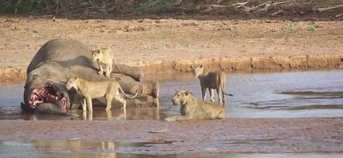 Xem bầy sư tử đói tấn công cá sấu khổng lồ kịch tính như phim hành động - ảnh 3