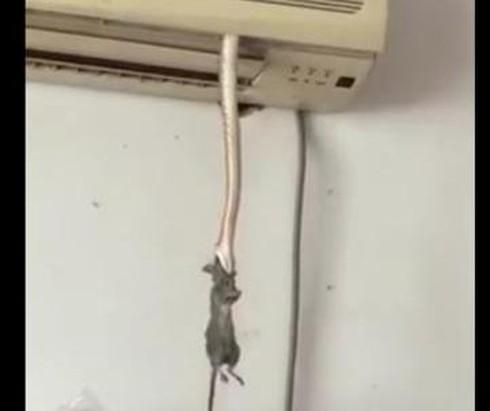 Xem video trăn trốn trong máy điều hòa để bắt chuột - ảnh 1