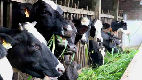 UBND TP.HCM chỉ đạo tháo gỡ khó khăn cho các hộ chăn nuôi bò sữa - ảnh 1