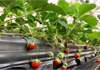 Bỏ công chức nhà nước về làm vườn dâu tây ở Tây Bắc thu nhập tiền tỷ