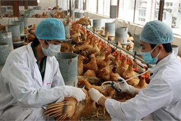 TP.HCM yêu cầu xử lý dứt điểm các ổ dịch gia súc gia cầm trên địa bàn