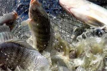 Anh nông dân thu hàng trăm triệu mỗi năm nhờ nuôi cá sạch