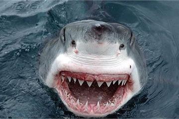 """Chuyện chưa biết về """"quái vật"""" cá mập trắng ở đại dương"""