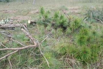 Lâm Đồng: Buộc chủ mưu phá rừng thông phải trồng lại rừng