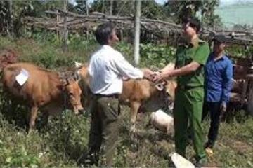 Gia Lai: Bị công an bắt khi dắt trộm 3 con bò đi bán