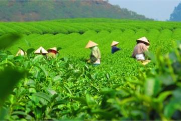 Phú Thọ: Không ngừng nâng cao phát triển cây chè, tăng năng xuất cho bà con