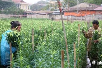 """Giá hoa loa kèn Hà Nội giảm 50-60%, người trồng hoa  """"đau đầu"""" vì thất thu"""