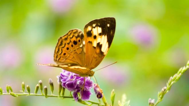 bươm bướm bay vào nhà