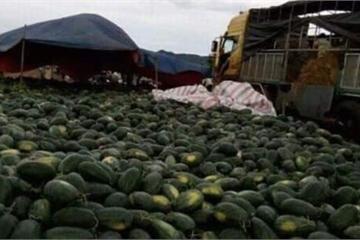 """Gia Lai: """"Giải cứu"""" hơn 3 nghìn tấn dưa hấu cho người dân"""
