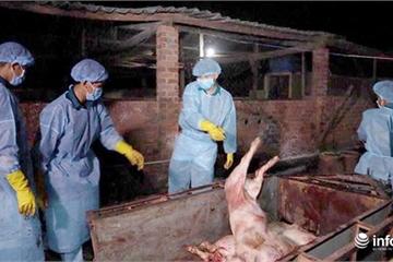Đồng Nai đình chỉ công tác cán bộ cấp giấy kiểm dịch cho lợn bị dịch tả châu Phi