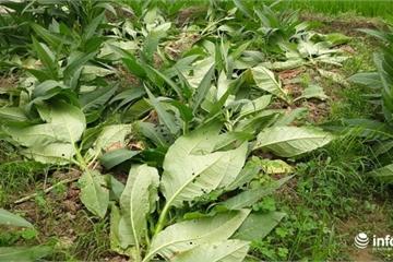 Chết điếng phát hiện 400m2 cây thuốc lào bị phá hoại trong đêm