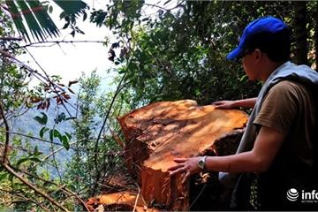 """Thâm nhập rừng đầu nguồn Tả Trạch: Gốc cây cổ thụ """"rỉ máu"""" vì lâm tặc chặt phá"""