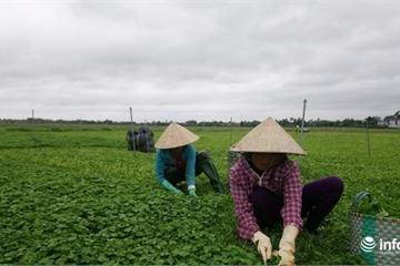 Phát triển trồng rau má gắn với xây dựng nông thôn mới