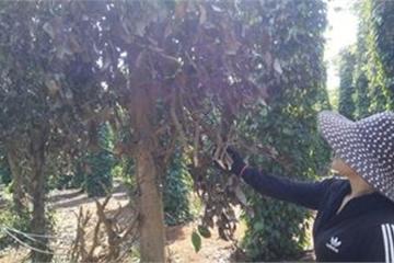 Đắk Lắk: Lùm xùm một vườn tiêu 2 chủ thu hoạch, can thiệp là bị đuổi đánh