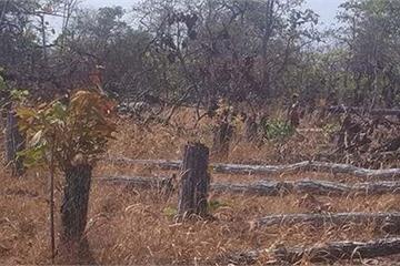 Bắt 1 đối tượng trong vụ phá trắng rừng ở Gia Lai