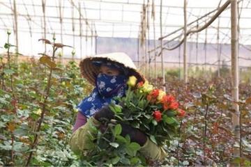 Giá giảm, tiêu thụ hoa cũng giảm mạnh, người trồng hoa Đà Lạt lao đao