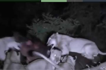 Sư tử bị thương nặng vì tấn công hà mã