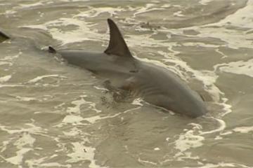 Xem video cá mập trắng mắc cạn vùng vẫy tìm đường ra biển