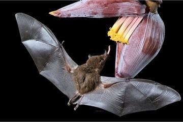 Khoảnh khắc hiếm gặp: Dơi hút mật hoa chuối trong đêm