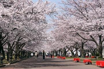 Hoa anh đào Nhật Bản bất ngờ nở rộ sớm hơn mọi năm
