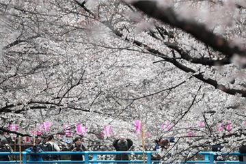 Mùa hoa anh đào nở rộ ở Nhật Bản qua những bức ảnh đẹp ngất ngây