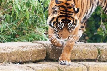 Hổ Sumatra nổi giận tấn công người chăm sóc trong sở thú