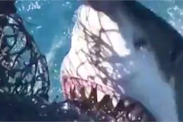 Cận cảnh cá mập trắng tấn công thuyền của ngư dân Mỹ