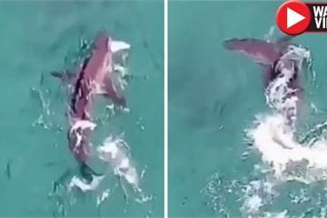 Cá mập trắng quẫy nước săn mồi, cách người đi bơi chỉ 20 mét