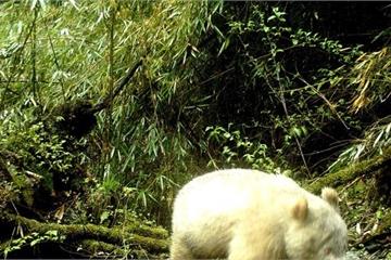 Lần đầu tiên nhìn thấy gấu trúc trắng muốt tại Trung Quốc