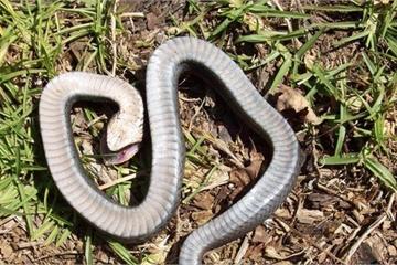 Màn giả chết tuyệt hảo của loài rắn có họ hàng với loài hổ mang cực độc