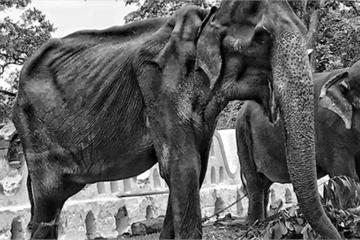 Số phận bi thảm của voi gầy trơ xương xôn xao cộng đồng mạng tại Sri Lanka