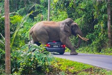 Kinh hãi voi già tức giận, lao xuống đường tấn công xe ô tô trong rừng ở Thái Lan