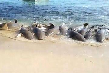 Kinh hoàng đàn cá mập hung dữ chen nhau lao lên bờ tại Australia