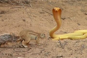 Video: Sóc mẹ dũng cảm một mình chiến đấu với rắn hổ mang vàng