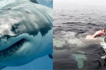 Lần đầu tận mắt thấy hai cá mập trắng hợp sức tấn công cá voi lưng gù khổng lồ
