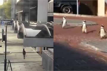Hi hữu: Kangaroo chạy tự do trên phố ở Australia, chim cánh cụt dạo chơi ở Nam Phi