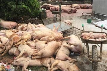 Dịch tả lợn Châu Phi lan 44 tỉnh thành, tiêu hủy hơn 2 triệu con lợn