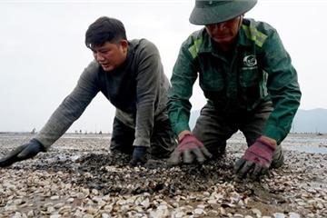 Hà Tĩnh: Hàng trăm ha ngao chết bất thường, dân thiệt hại 30 tỉ đồng sau lũ