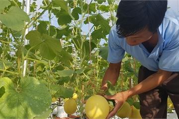 Mô hình dưa lưới tại xã miền núi Hà Tĩnh mang lại hiệu quả kinh tế cao