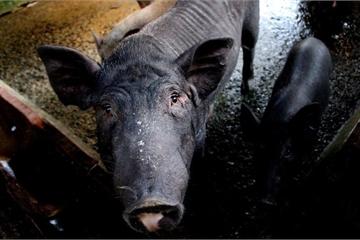"""TP.HCM áp dụng """"tình huống 2"""" ứng phó khẩn cấp dịch tả lợn châu Phi"""