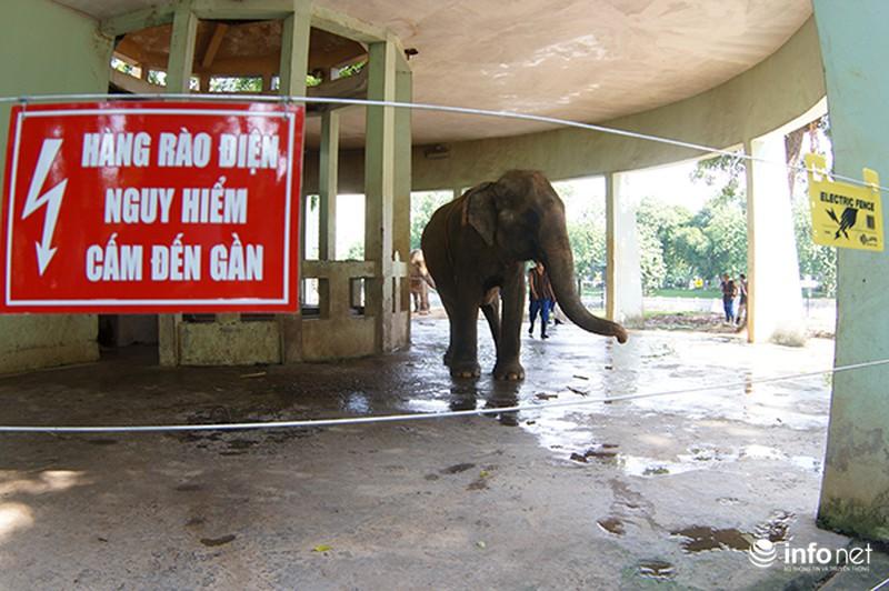 Tháo xích cho voi vườn thú Hà Nội - ảnh 2