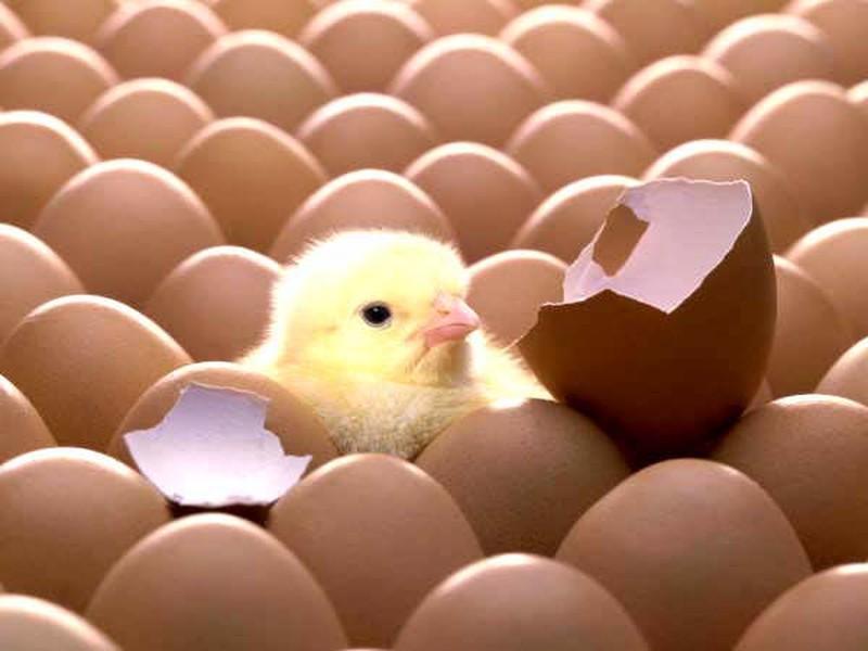 Bắc Ninh: Thực hành tốt và an toàn sinh học trong ấp nở trứng gia cầm - ảnh 1